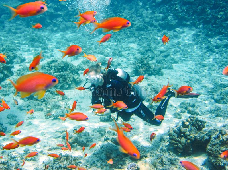 Dahab, Egypt - November 06, 2011. Scuba diver exploring Red Sea between flock of the orange fish stock image
