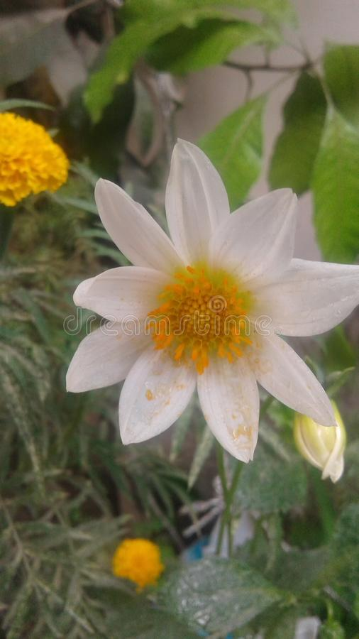 Dahalia kwiat fotografia royalty free