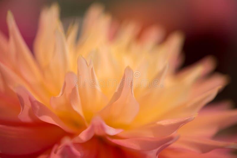 Dahila blanc et orange vibrant de couleur photos libres de droits