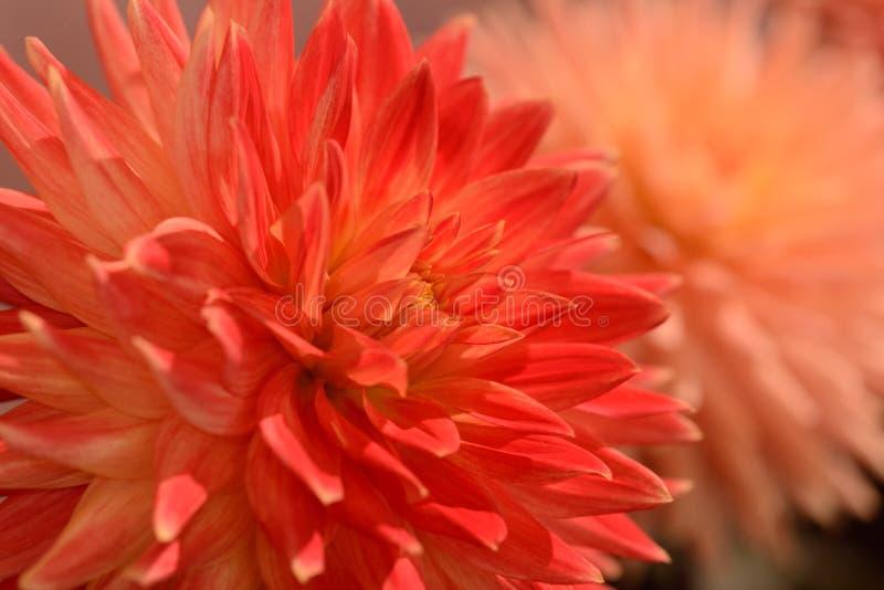 Dahila orange vibrant de couleur photographie stock libre de droits
