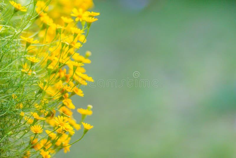 Dahlberg daisy flowers (Thymophylla tenuiloba) background. Thymophylla tenuiloba, also known as bristleleaf pricklyleaf, Dahlberg royalty free stock photo
