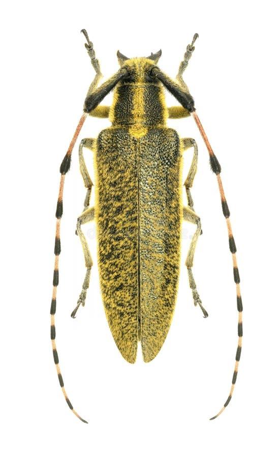 Dahli de Agapanthia del escarabajo del Capricornio imágenes de archivo libres de regalías