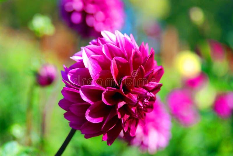 Dahlia é um gênero de plantas bushy, tuberosas, perenes nativas do México fotografia de stock royalty free
