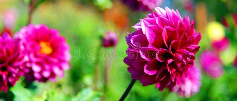 Dahlia é um gênero de plantas bushy, tuberosas, perenes nativas do México foto de stock royalty free