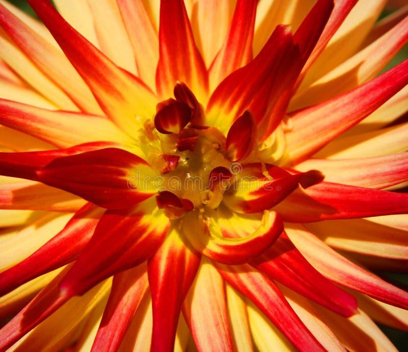 Dahlia é um gênero de plantas bushy, tuberosas, perenes nativas do México imagens de stock royalty free