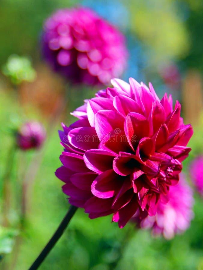 Dahlia é um gênero de plantas bushy, tuberosas, perenes nativas do México imagem de stock royalty free