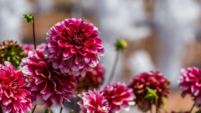 "Dahlia ""Zachary Roberts"" Flowers stock images"