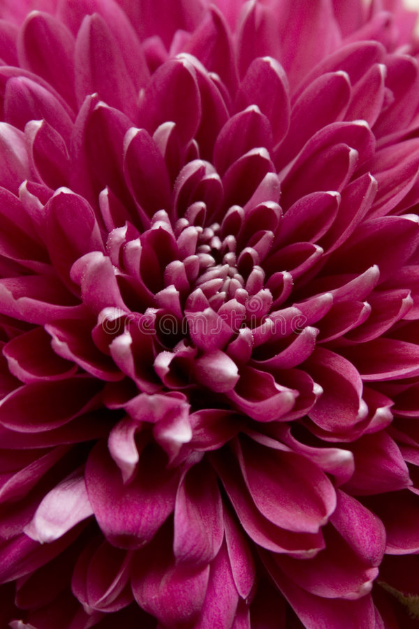Free Dahlia 1 Royalty Free Stock Images - 3989229