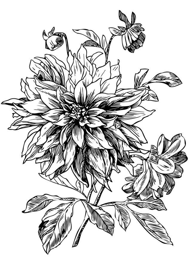 dahlia stock illustrationer