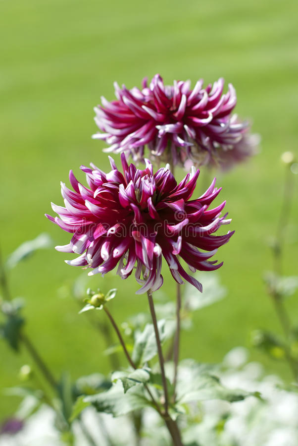 Download Dahlia Royalty Free Stock Photo - Image: 21134115
