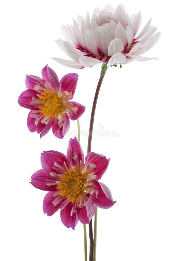 Dahlia royalty-vrije stock afbeelding