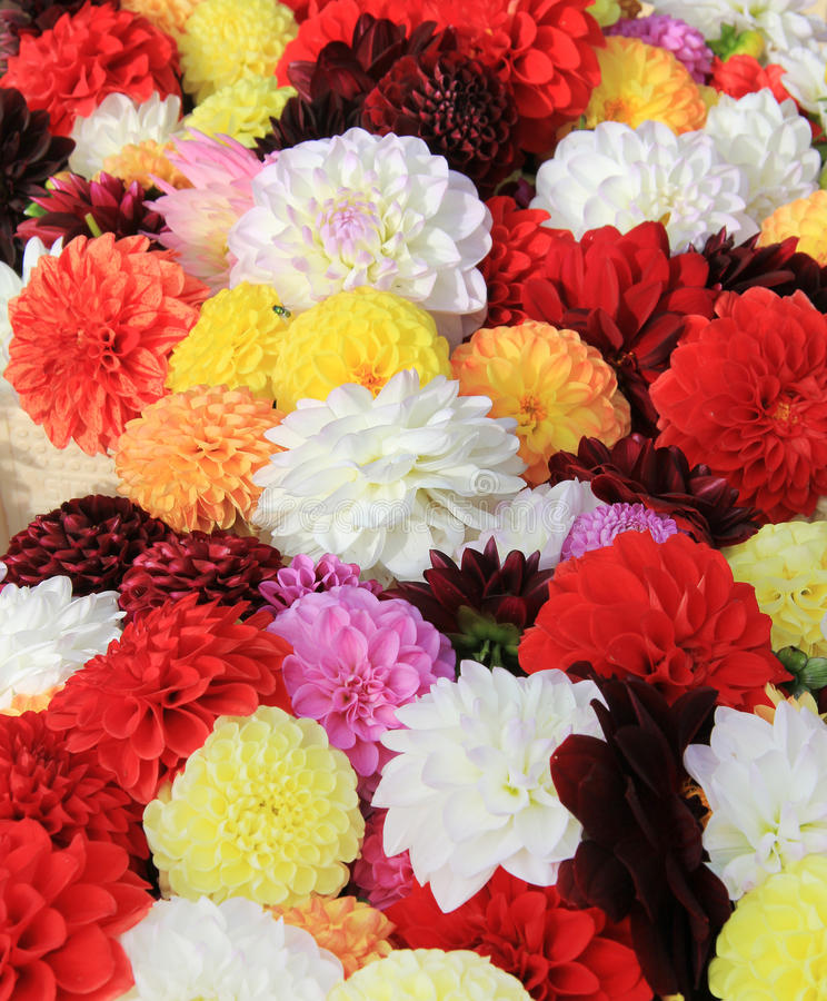 Download Dahlia stock photo. Image of closeup, nature, flower - 21321430