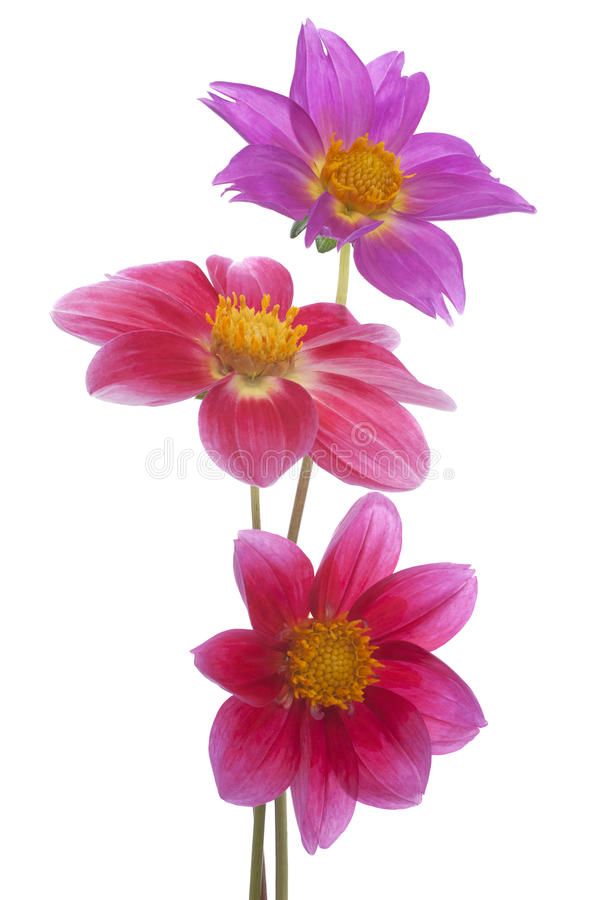 Download Dahlia stock photo. Image of magenta, marguerite, dahlia - 25958196