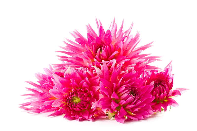 Download Dahlia stock photo. Image of decoration, color, flora - 26449984