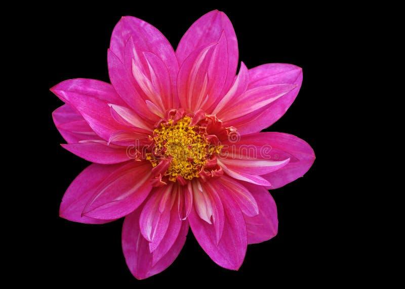 Download Dahlia fotografering för bildbyråer. Bild av pink, dahlia - 284941
