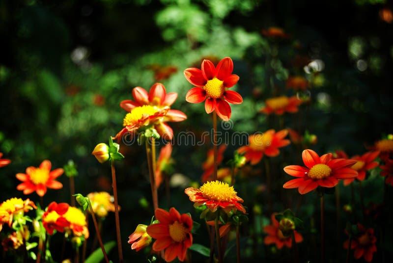Dahlia royalty-vrije stock fotografie