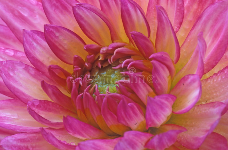 Download Dahlia fotografering för bildbyråer. Bild av dahlia, fall - 34399