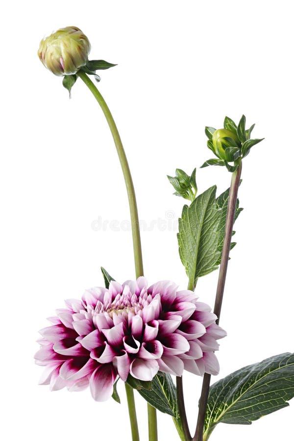 Dahlia royaltyfria foton