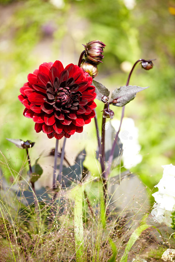 Dahlia Arabian Night. Dark red Arabian Night Dahlia and bloom royalty free stock image