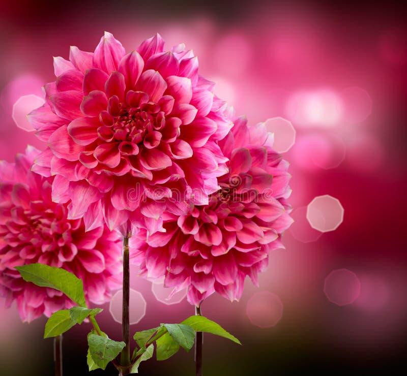 Dahlia Autumn Flowers. Beautiful Bokeh