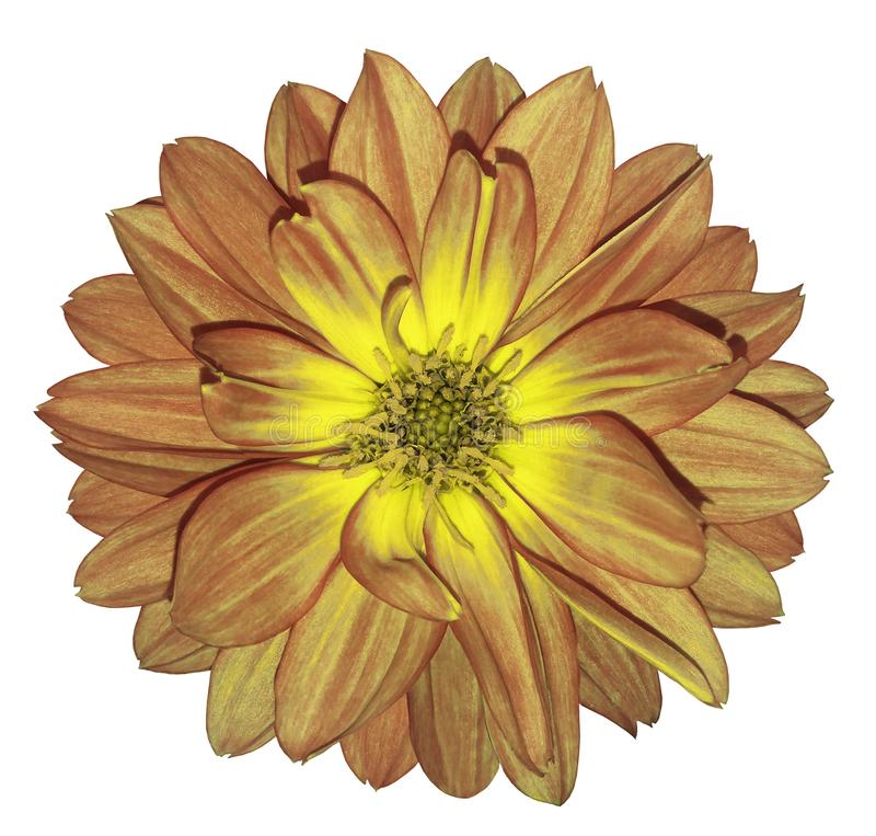 Free Dahlia Autumn Red-yellow Flower On White Isolated Background With Clipping Path. For Design. Closeup. Stock Photos - 116307083