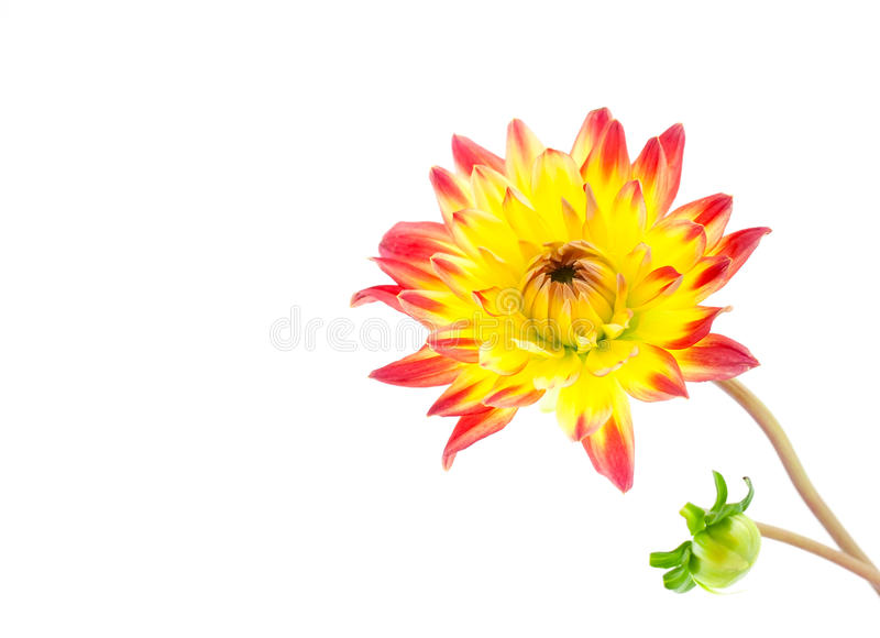 Dahlia avec le bourgeon photos stock