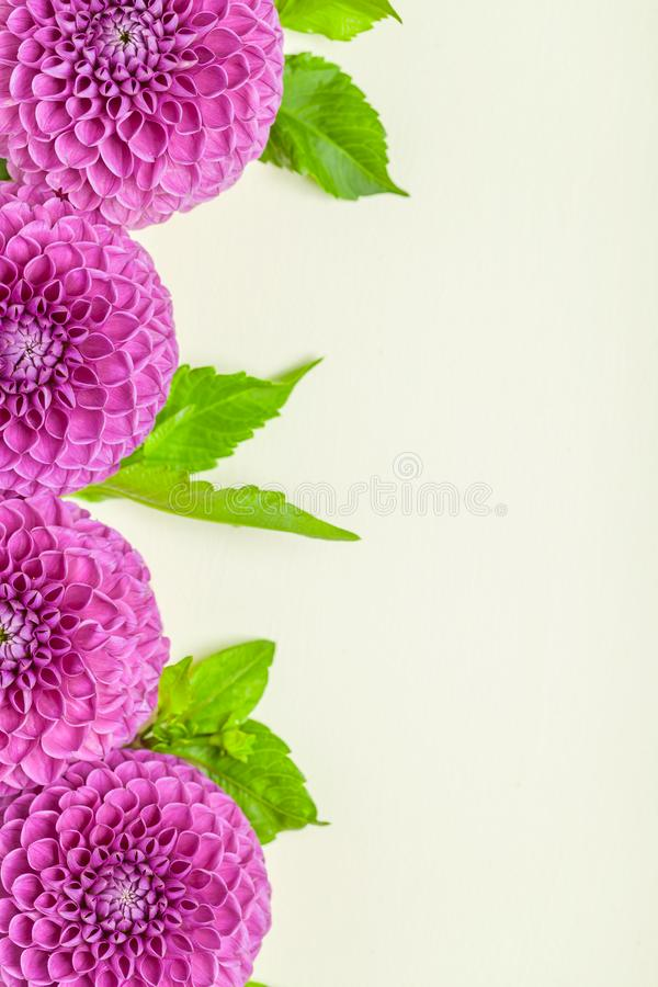 Dahlia ball-barbarry border frame - top view on violet fresh flowers with green leaves and buds. royalty free stock photography