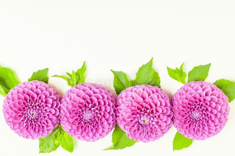 Dahlia ball-barbarry border frame - top view on violet fresh flowers with green leaves and buds. stock photos