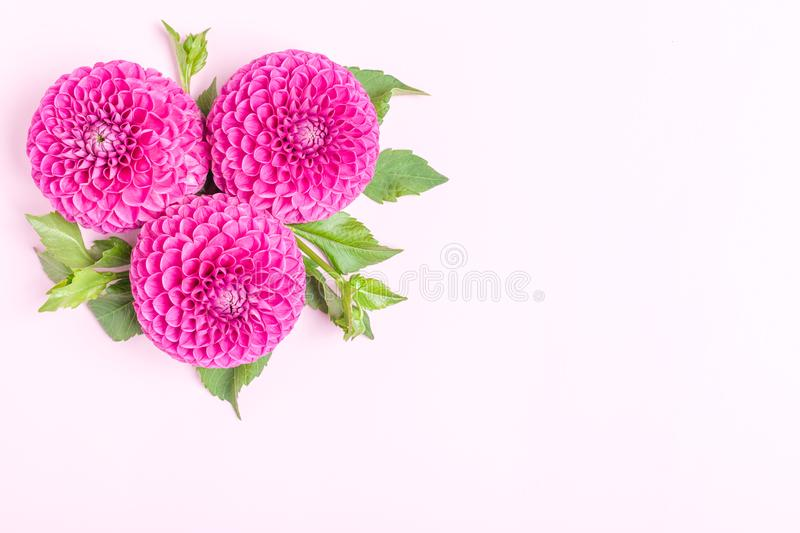 Dahlia ball-barbarry flowers with green leaves and buds - top view on pink bright summer blooms. royalty free stock photos