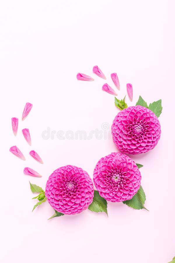 Dahlia ball-barbarry flowers and petals with green leaves and buds. Dahlia ball-barbarry flowers and petals with green leaves and buds - top view on pink bright stock photos