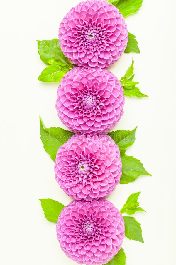 Dahlia ball-barbarry with green leaves and buds - top view on pink bright summer flower on pastel background. stock photo