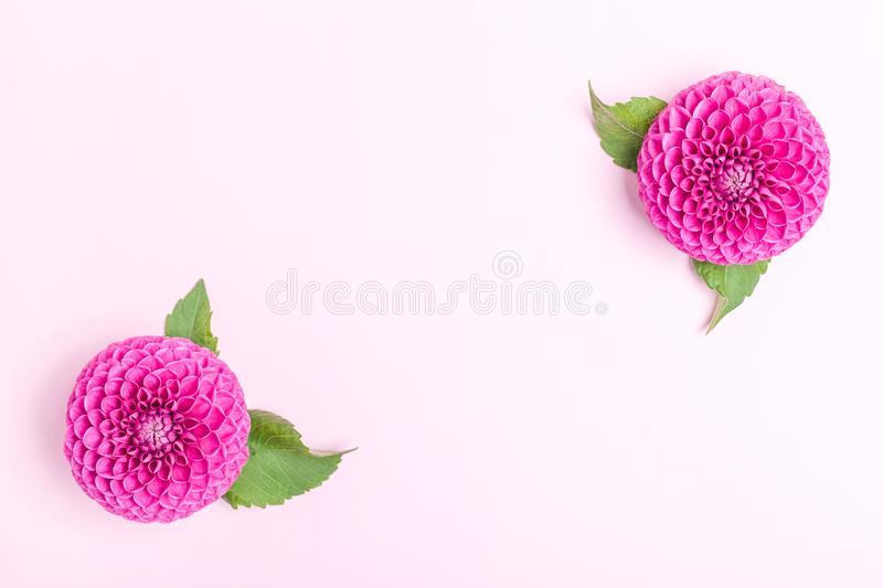 Dahlia ball-barbarry with green leaves - top view on pink bright summer flower stock photos