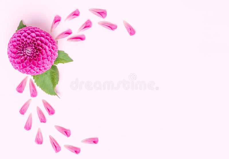 Dahlia ball-barbarry and petals with green leaves - top view on pink bright summer flower stock photography