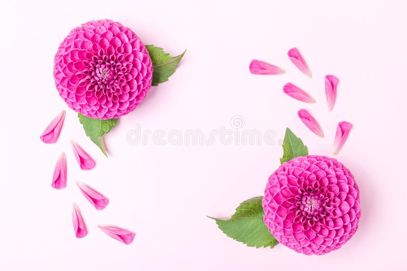 Dahlia ball-barbarry and petals with green leaves - top view on pink bright summer flower stock image