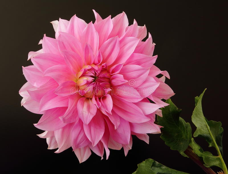 Dahlia on black royalty free stock photo