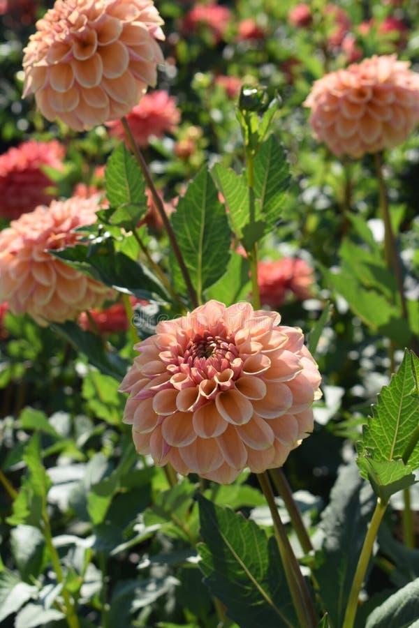 """Dahlia """"Blah - fade """"en fleur image stock"""