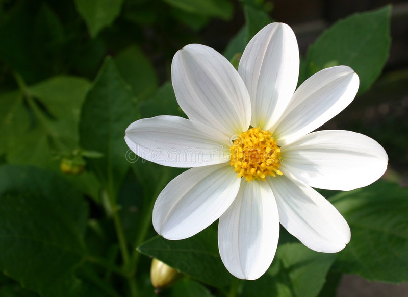 Dahlia blanc magnifique photos stock