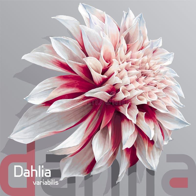 dahlia blanc rouge de jardin illustration de vecteur