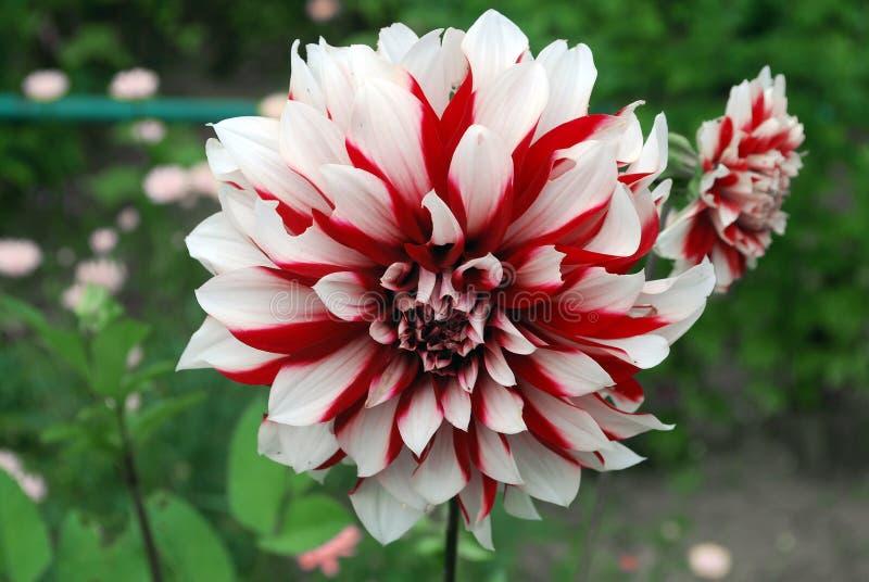 dahlia blanc rouge lumineux de fleur image stock image du floraison sensible 38034925. Black Bedroom Furniture Sets. Home Design Ideas