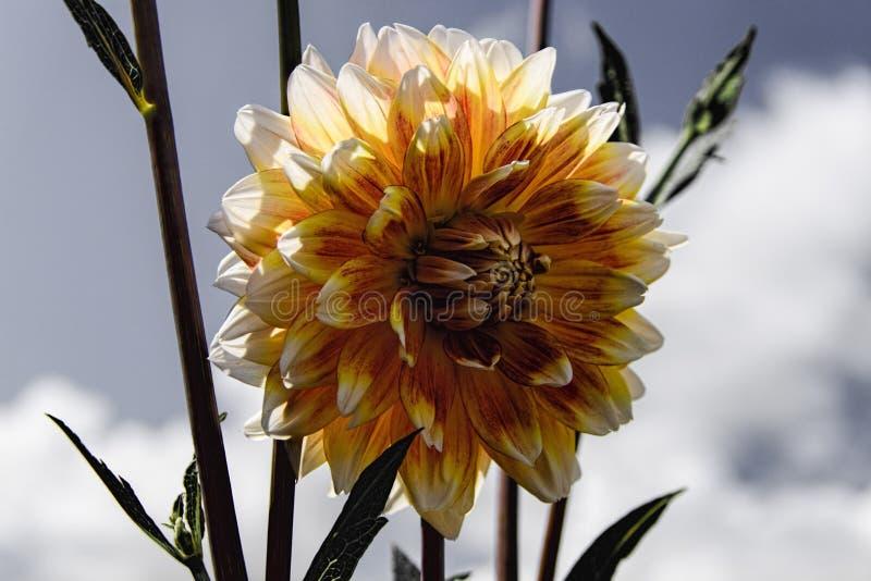 Dahlia Bloom foto de archivo
