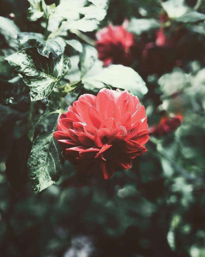 Dahlia Bloom roja foto de archivo libre de regalías