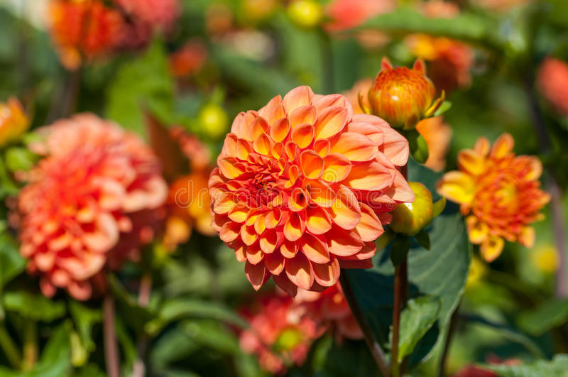 Dahlia blooms in autumn. Orange dahlia blooms in a sunny autumn day stock image