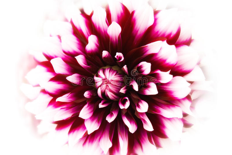Download Dahlia blossom stock photo. Image of detail, nature, flower - 27904648