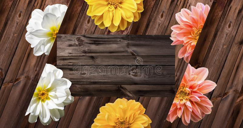 Dahlia blossoms on old wood. royalty free stock photo
