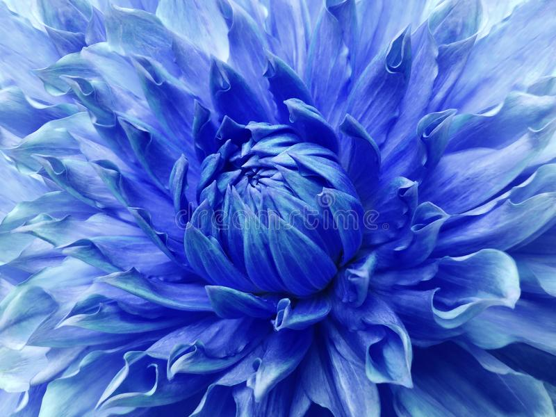 Dahlia blue flower. Macro. Motley big flower. Background from a flower. stock photos
