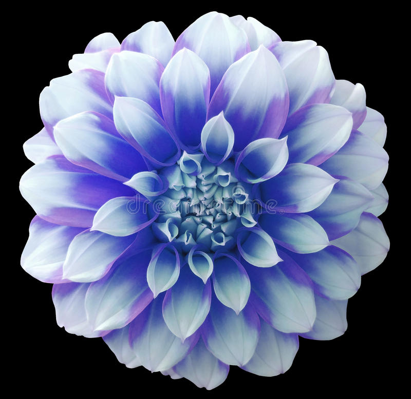 Dark Blue And White Flowers: Dahlia Blue White Flower ,variegated Flower, Black