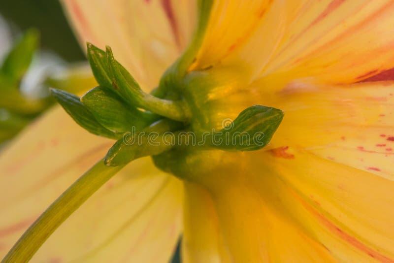 Dahlia Bracts amarela imagens de stock