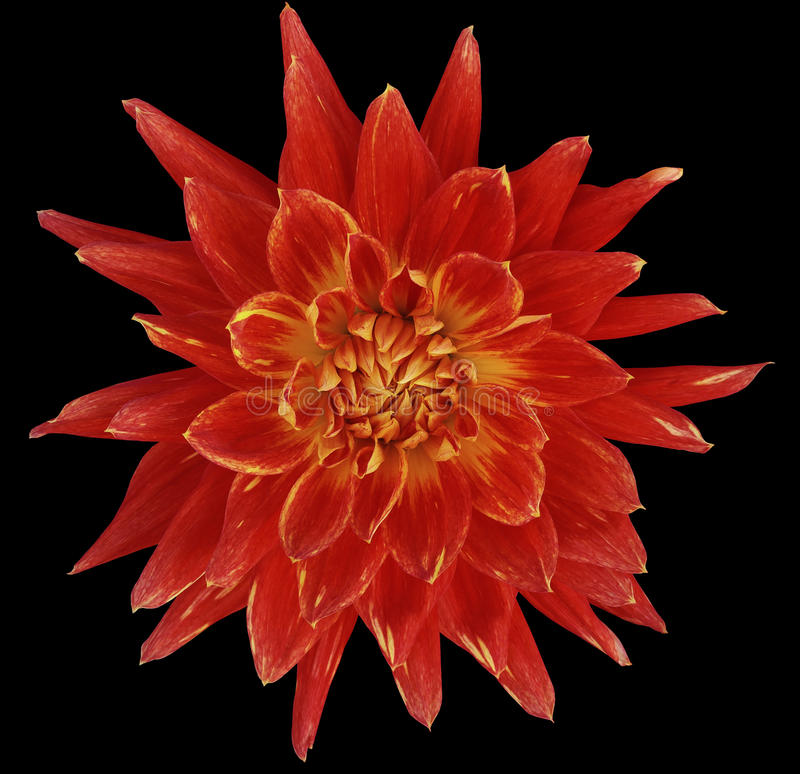 Dahlia brightly red flower, black background isolated with clipping path. Closeup. with no shadows. Great, Spotted, spiky flowe. R. Nature stock photo