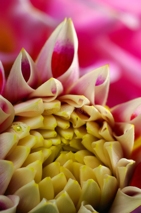 Dahlia bud royalty free stock images
