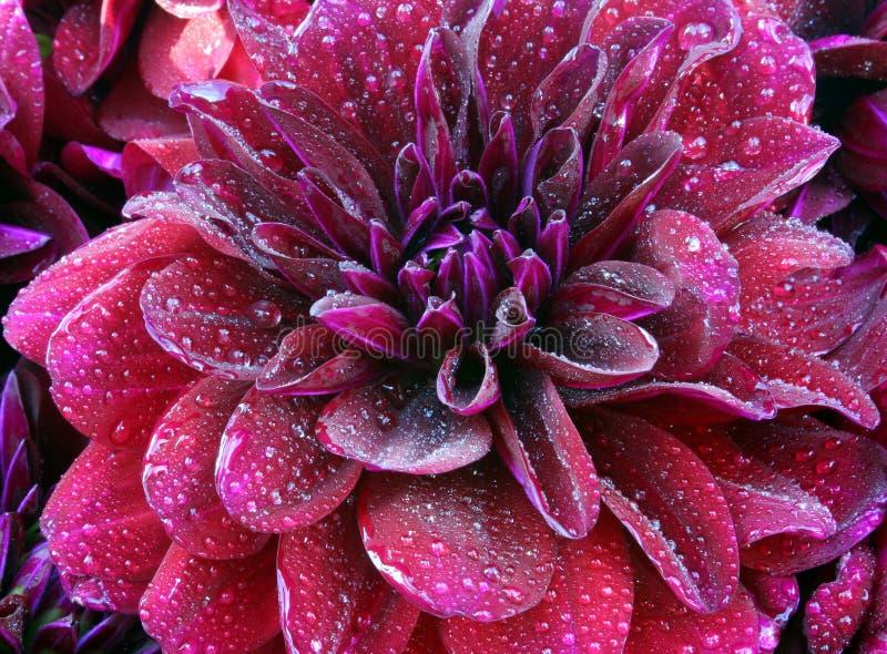 dahlia burgundzkie ii zdjęcie royalty free